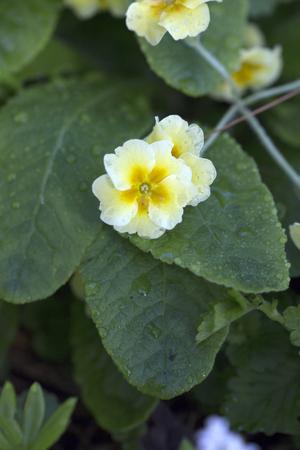 polyanthus: Primrose
