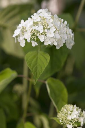 hydrangeaceae: Hydrangea - Abetwo
