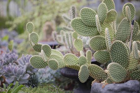 Cactus Imagens