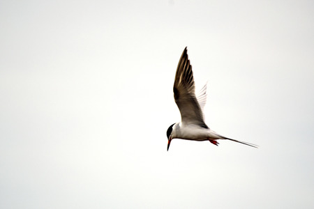poised: Single Caspian Tern poised to dive for fish