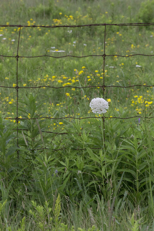 nat: Queen Annes Lace wildflower with fence and more wildlflowers behind