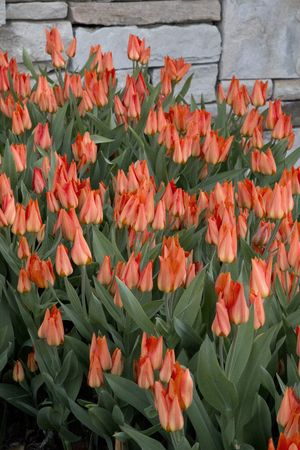 clustered: Profusion of orange tulips clustered at base of stone wall Stock Photo