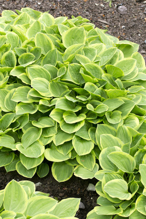 pale: Pale green leaves of the plant - Hosta - Golden Tiara Stock Photo