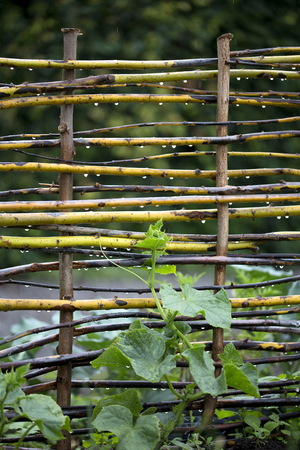 Vegetable garden with stick fence for plant support Stok Fotoğraf