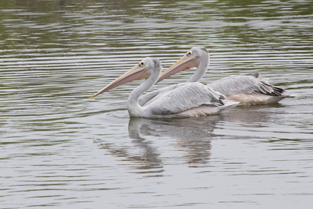 birder: African pink backed pelicans cruise the lake for fish Stock Photo