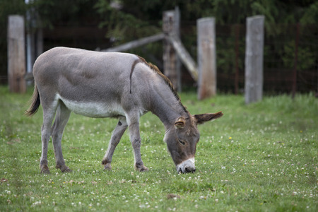Head of donkey on a farm eating grass Stock Photo