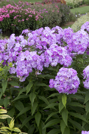 shockwave: Pink flowered plant on long stems - Phlox - Shockwave