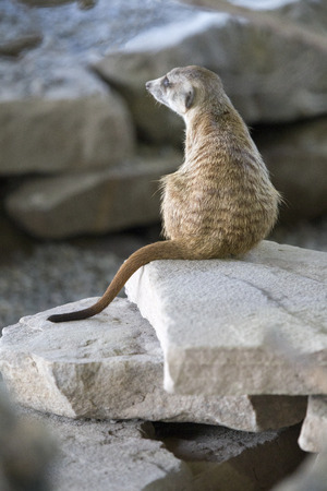 antics: Meerkat sits on a rock and watches the antics of his family Stock Photo
