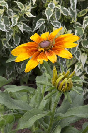 Yellow and orange flowers of Rudbeckia - Cappuccino Imagens