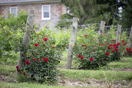environment issues: Red rose bush planted at the end of a row of grape vines provides first warning of environment issues