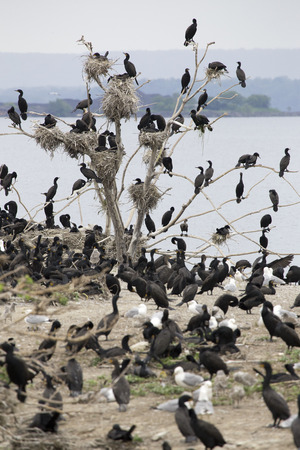 birder: Many double crested cormorants nesting in a single dead tree