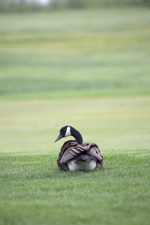 lush: Canada Goose sitting on lush green grass