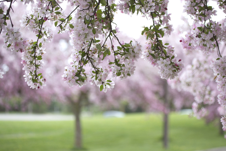 masses: Beautiful cherry trees in full bloom with masses of pink flowers Stock Photo