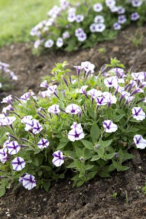 바이올렛 스타 매력 - 피튜니아의 보라색과 흰색 꽃