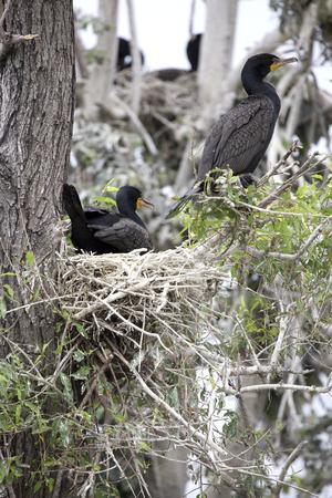 birder: Double crested cormorants nesting in dead tree