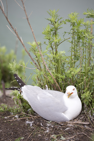protects: Mother seagull protects her eggs and nest