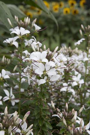 blanca: White flowered plant - Cleome - Senorita - Blanca Imp Stock Photo