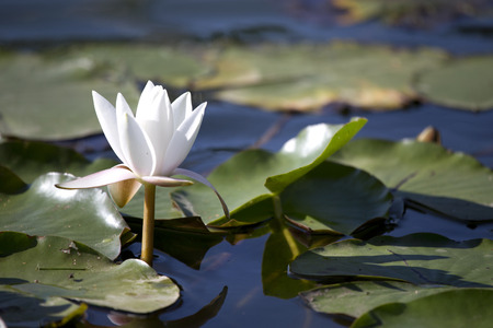lily pads: White waterlily flower with lily pads on pond