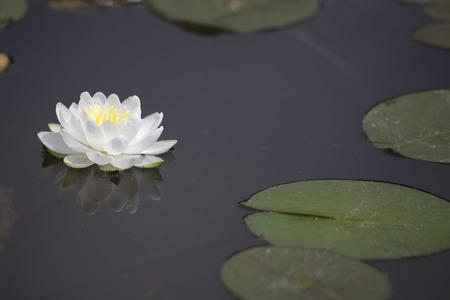 lirio de agua: nen�far blanco con la reflexi�n y lilypads en la charca oscura Foto de archivo