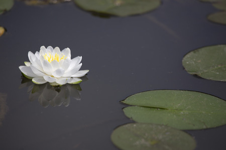 White waterlily with reflection and lilypads on dark pond