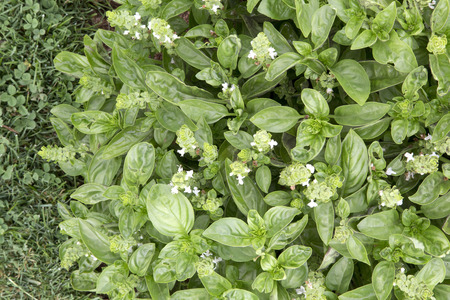Green leasves and flowers of Basil - Dolce Fresca