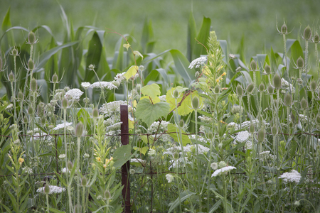 Wildflowers and corn crop with metal fence post