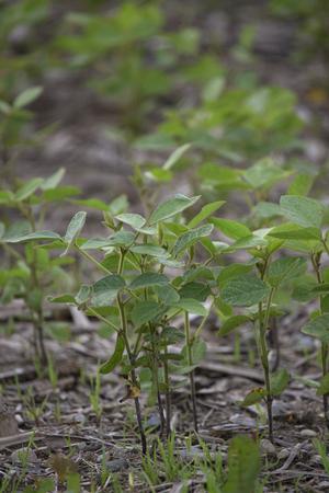 Closeup of individual plants of food grade soybeans Banco de Imagens
