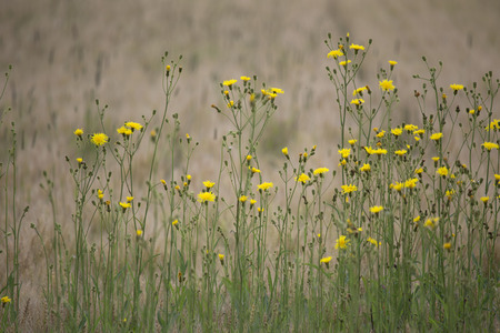 hawkweed: Yellow hawkweed wildflowers with brown wheat field behind Stock Photo