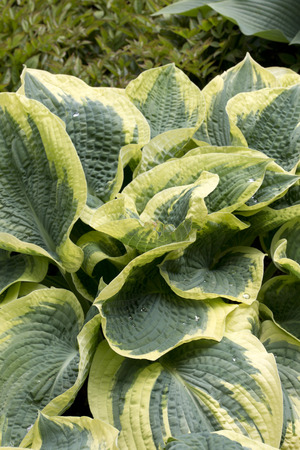 hosta: Green and pale green - yellow leaves of the plant - Hosta - Northern Exposure Stock Photo