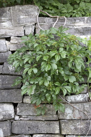 trailing: Vines trailing on rock wall in garden Stock Photo