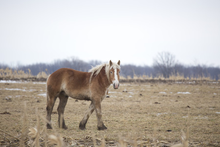 Shaggy brown horse in winter