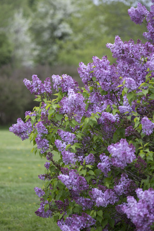 Lilac bush in full bloom with purple flowers Imagens