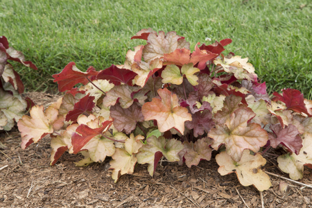 coral bell: Copper coloured leaves of Heuchera - Pinot Gris