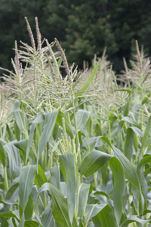 corn flower: Corn growing in a field with forest behind