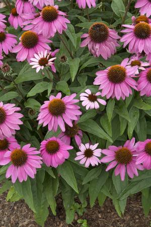 powwow: Pink flowers of plant - Echinacea - PowWow - Wild Berry Stock Photo