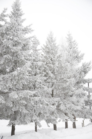 Stark winter scene with snow covered trees