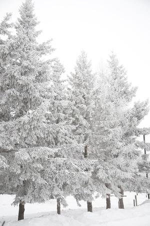 stark: Stark winter scene with snow covered trees