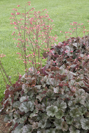 pewter: Peach flowers on long stems - Heuchera - Pewter Moon Stock Photo