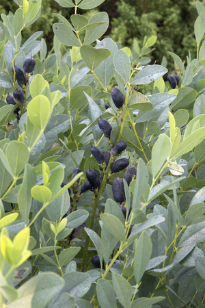black seed: Green leaves and black seed pod of plant - Baptista Stock Photo