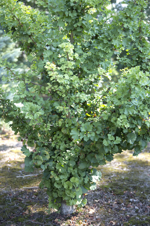 gingko: Tree in mossy soil - Gingko biloba - Spring Grove