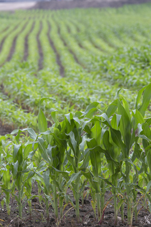 varying: Corn crop showing varying heights and rows Stock Photo