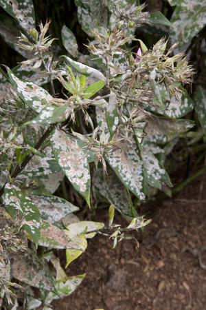 diseased: Diseased leaves of plant - Phlox - Watermelon Punch