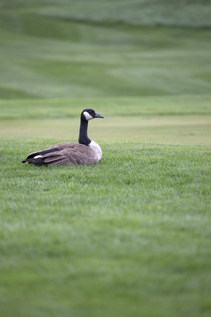 birder: Canada Goose sitting on lush green grass