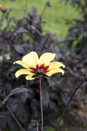 달리아 - 신비한 환상의 노란 꽃과 짙은 자주색 잎