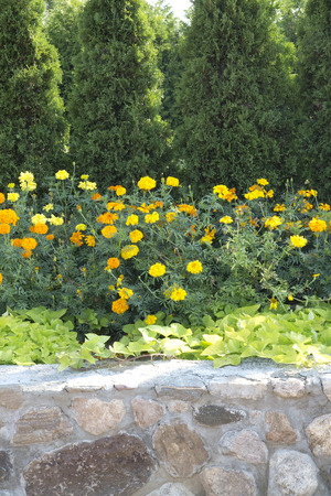 Marigolds and stone wall in front of cedars 版權商用圖片