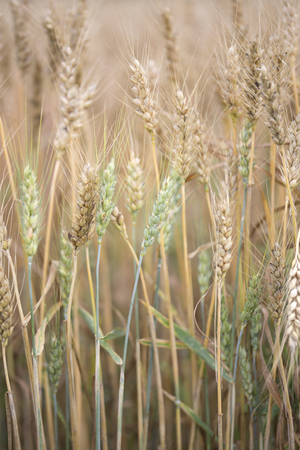 crop  stalks: Brown stalks of wheat ready for harvest Stock Photo