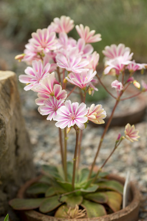 Pink flowers on long stems - Lewisia cotyledon
