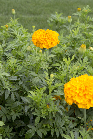 Orange flowers of plant - Marigold - Oriental Deep Gold