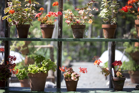 gardening: Red potted geraniums in a sunny window
