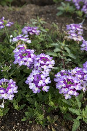 imp: Clusters of purple flowers - Verbena - Twister Purple Imp. Stock Photo
